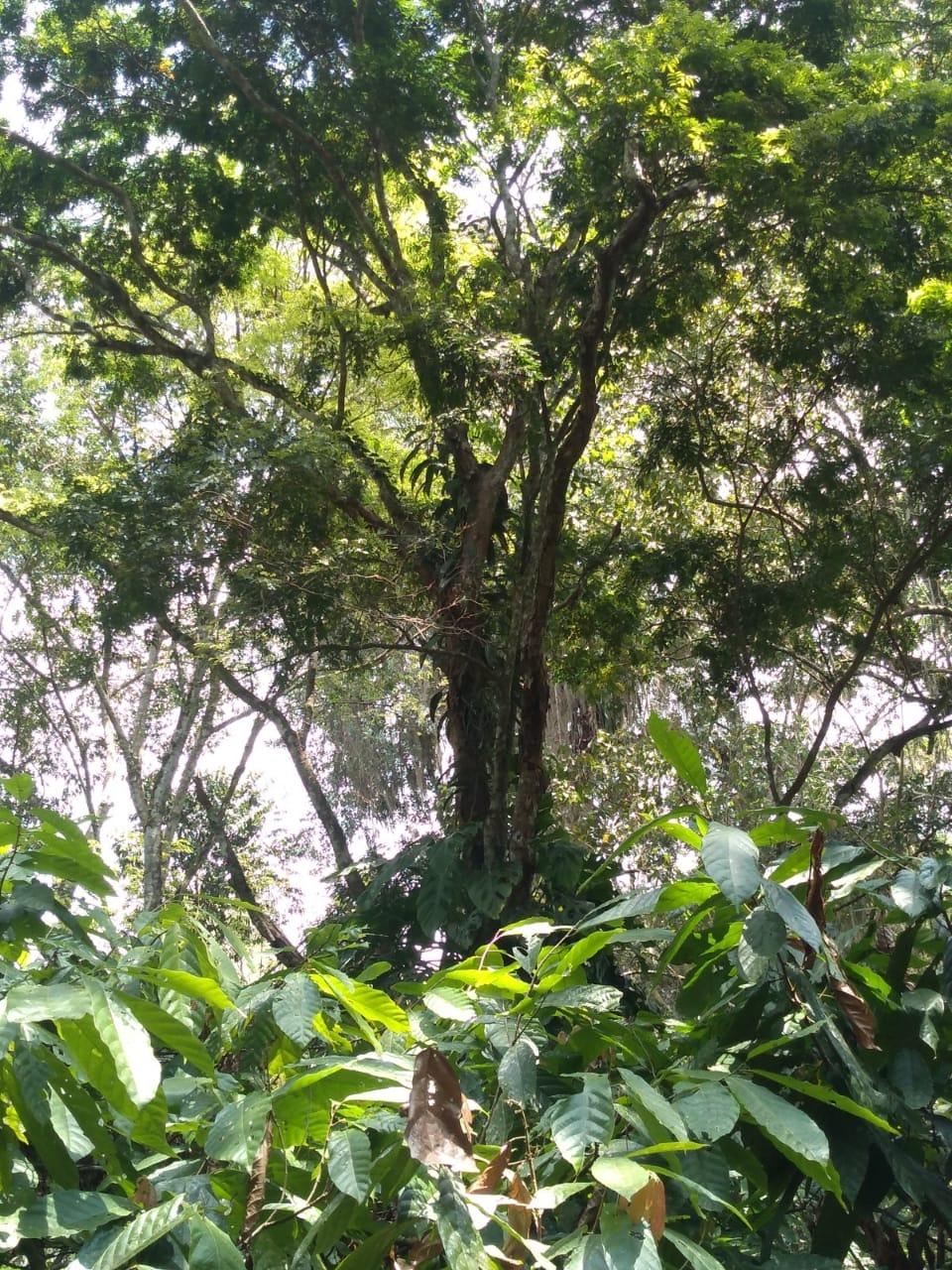 Pau-brasil com mais de 600 anos é preservado por famílias Sem Terra em assentamento no extremo sul da Bahia