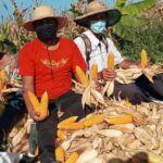 Juventude Sem Terra comemora a colheita de milho agroecológico